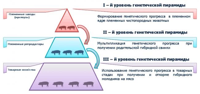 свиноводство в современной России